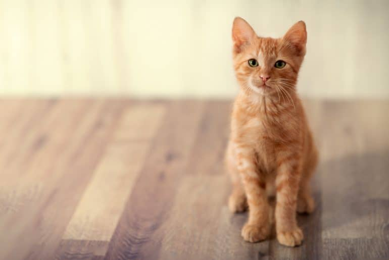 Red little kitten posing and looking at camera