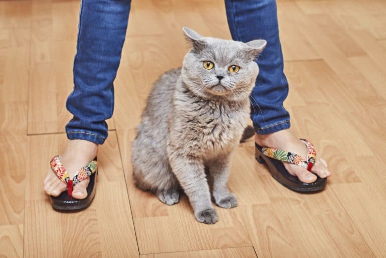 British short hair cat sitting between girl's legs