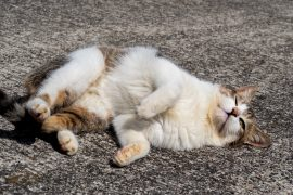 Tabby white cat rolling on the ground