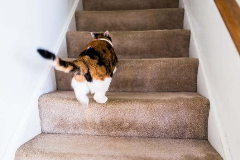 Calico white and ginger cat running up carpet stairs inside indoor home