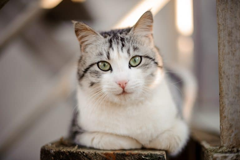 Cute gray and white cat with the light green eyes lying on the wooden board and looking at camera in the blurred background
