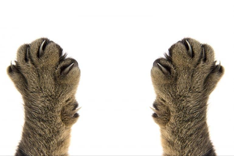 cat paws with claws on white background