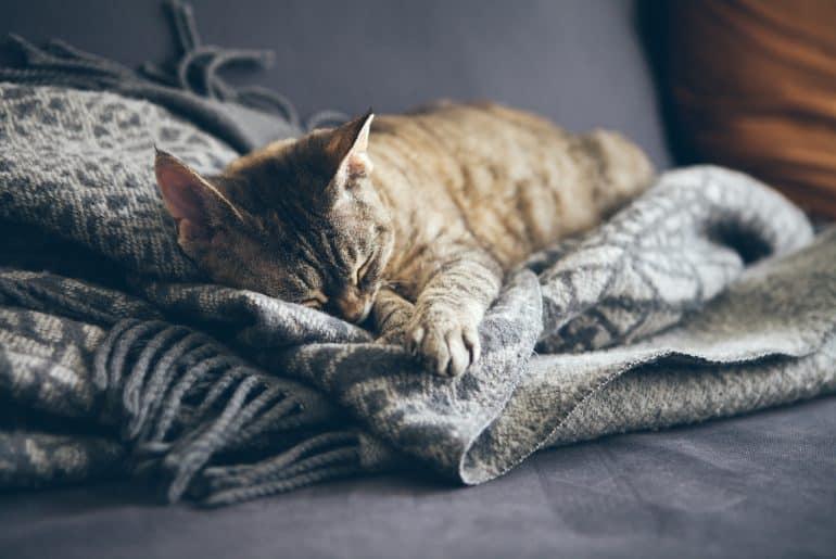 Tabby cat sleeping on gray plaid wool blanket