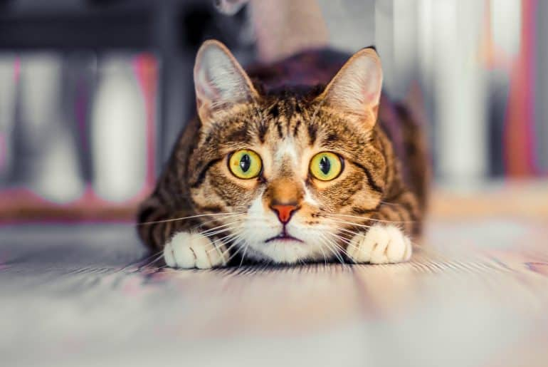 charismatic surprised cat lies and stares ahead