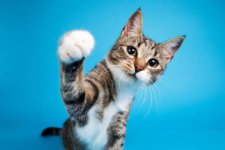 Portrait of a cute gray and white striped kitten sitting on blue background and playing