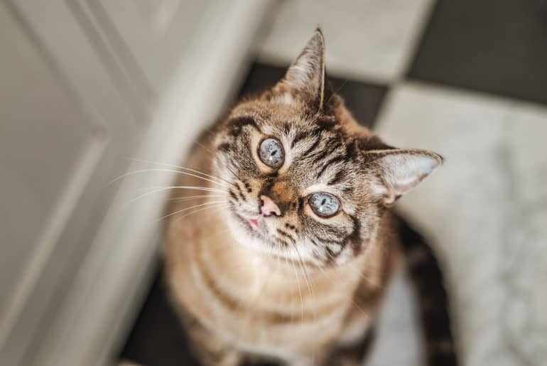 Cute tabby cat with blue eyes and long whiskers looks at camera with a sweet, happy expression.