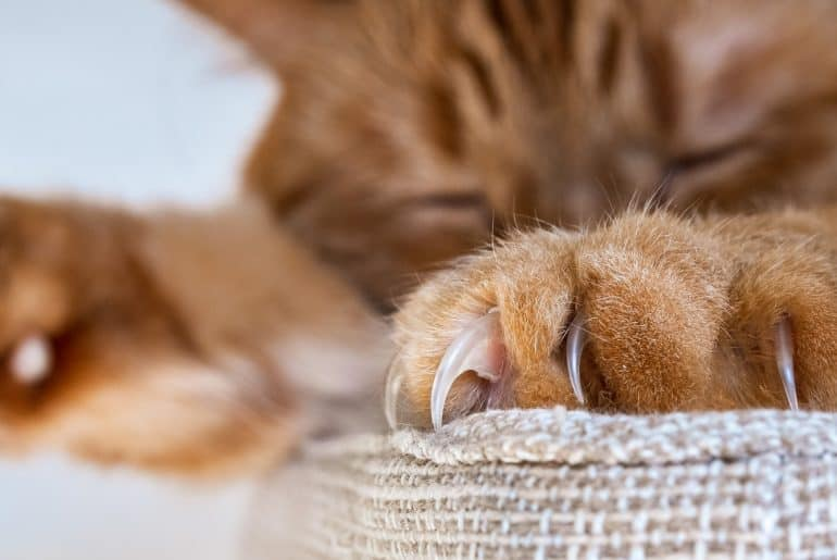 Close up of large claws visible on one of the front paws of a large orange cat