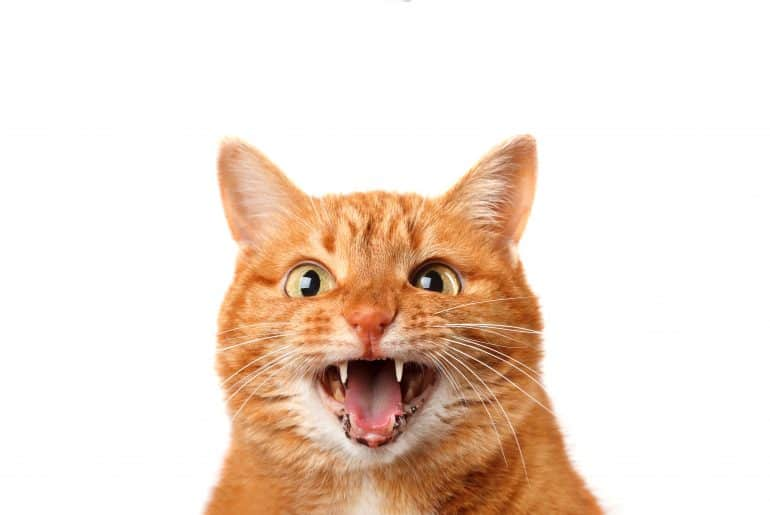 Crazy ginger cat crying isolated on white background