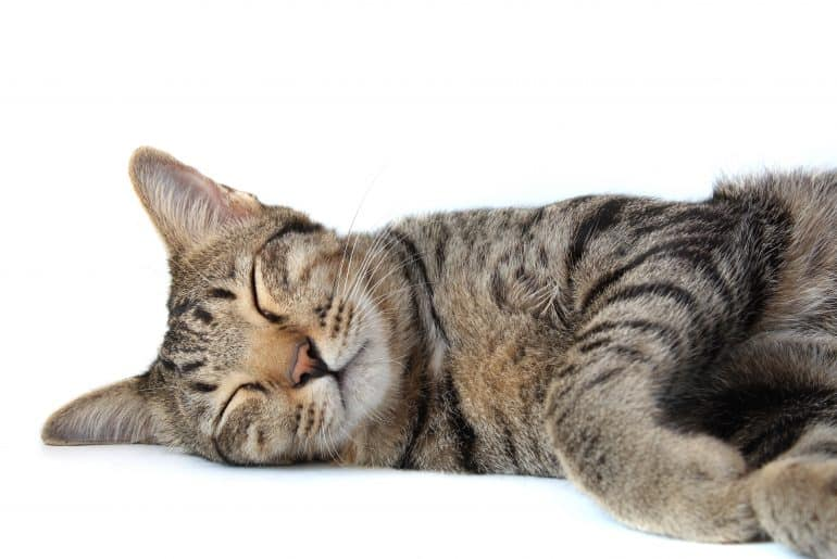 Closeup of Thai tabby striped cat is sleeping, isolated on a white backgroud.