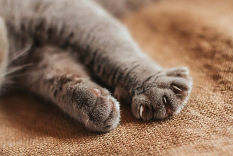 Paws of a gray cat