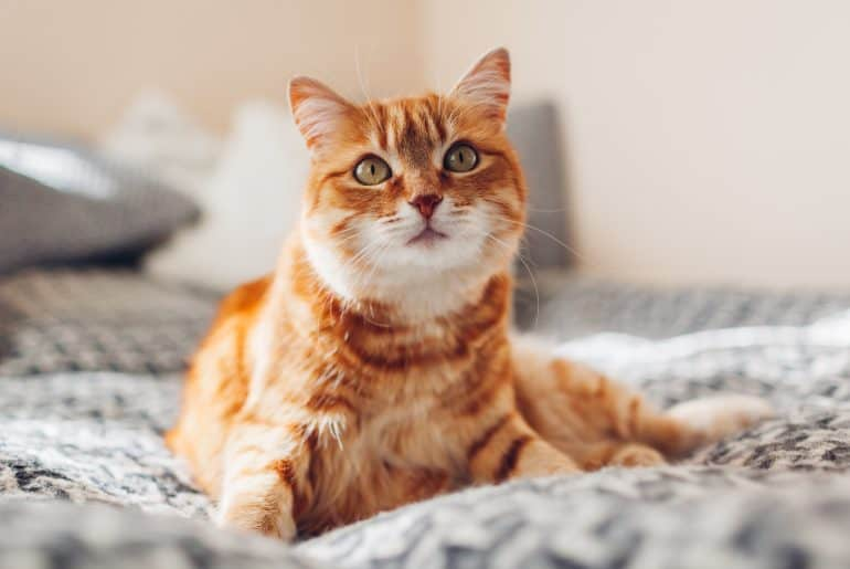 Ginger cat relaxing on couch in living room lying in funny pose on blanket. Pet enjoying sun at home