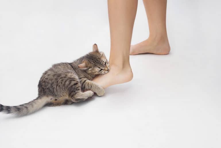 A young tabby cat bites a woman's feet. Cute kitten is playing with owner's feet isolated on white background. Bad behavior of pet. Naughty cat biting an ankle