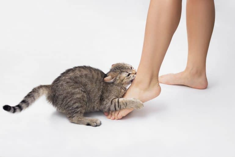 A young tabby cat bites a woman's feet. Cute kitten is playing with owner's feet