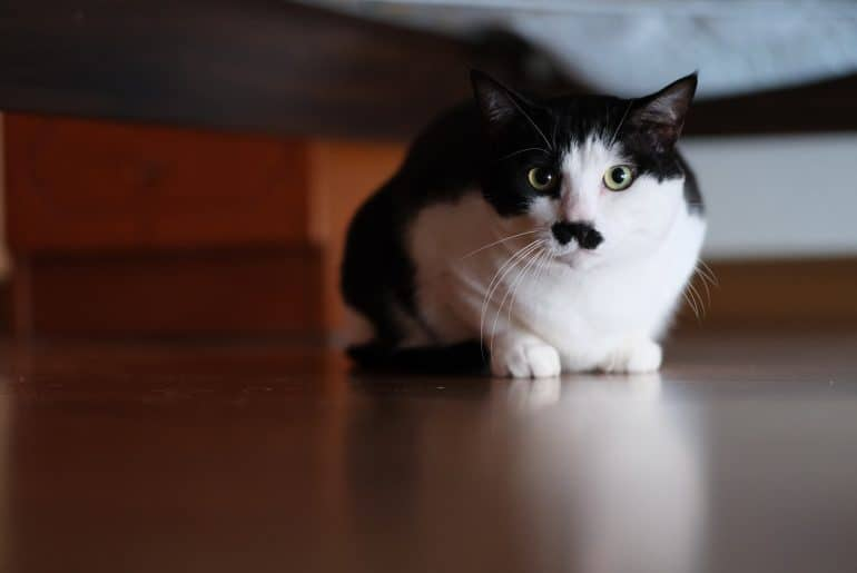 close up white black cat hiding under the bed, looking at camera
