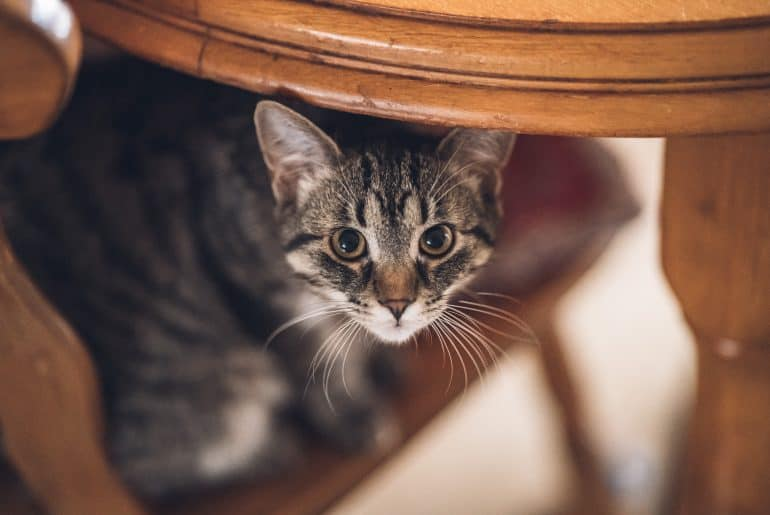 closeup portrait of a whisker kitten hiding under the kitchen table and sitting on the chair