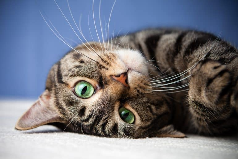 Rolling cat cute green eyes looking