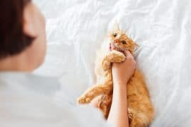 Ginger cat bites woman's hand. The fluffy pet plays with woman on bed.