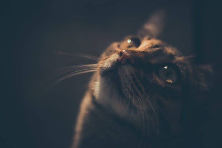 a portrait of tabby cat at night