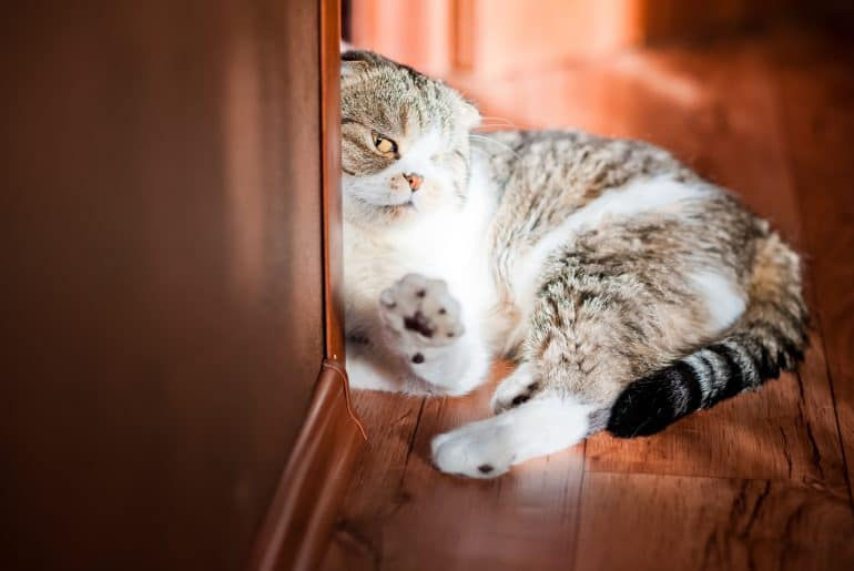 Very nice gray and white British shorthair cat. The cat is basking in the sun. Soft paws of the cat. The cat is scratching the latch of the door.