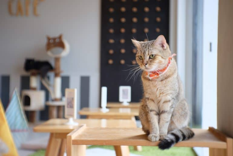 Portrait of cute Scottish cat standing straight on the table and wear orange scraf at cat cafe Thailand