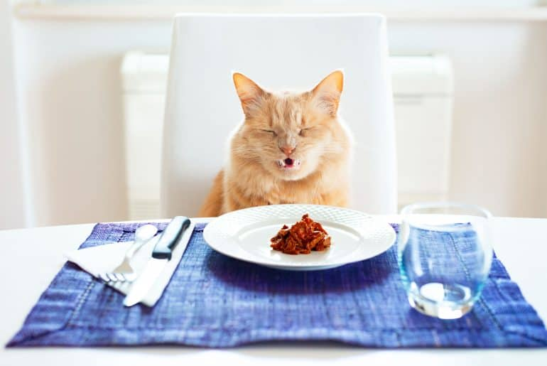 Cat with a funny angry expression there is wet food in the plate sitting in front on a table set like a human