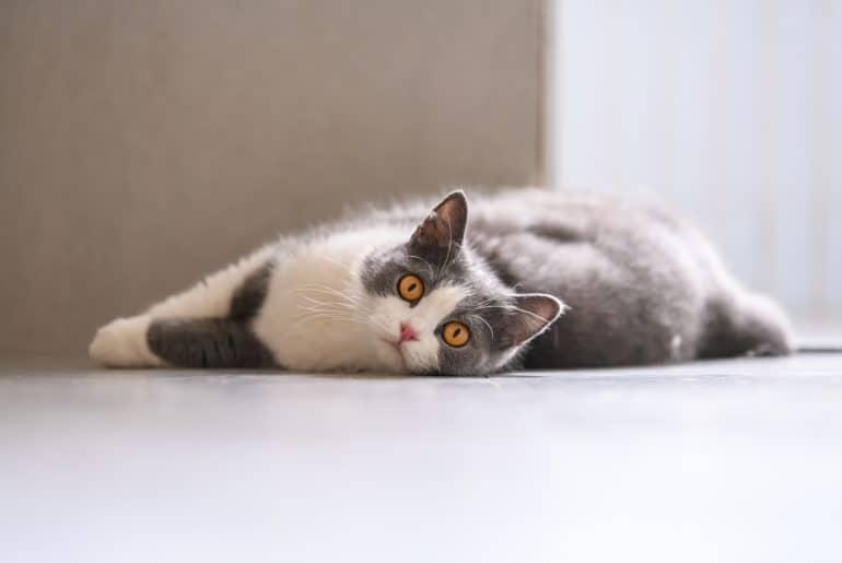 The British short hair cat lying on the ground