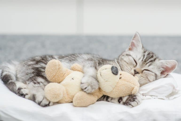 Cute baby kitten sleeping with toy bear.