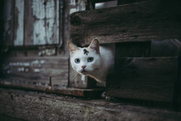 Cute white cat looking out of a hole in a wooden fence.