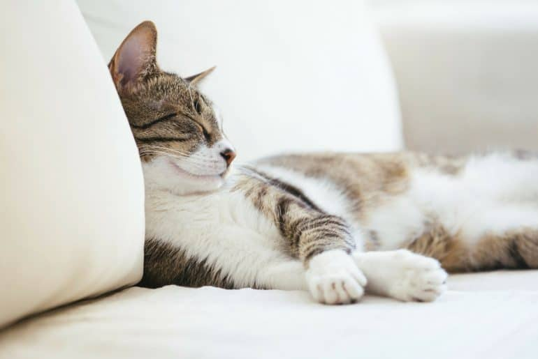 Lazy cat sleeping on couch
