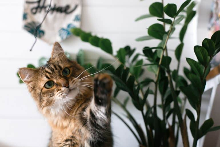 Maine coon playing with paw and looking with funny emotions at zamioculcas leaves. Cute cat sitting under green plant branches on wooden shelf in stylish boho room.
