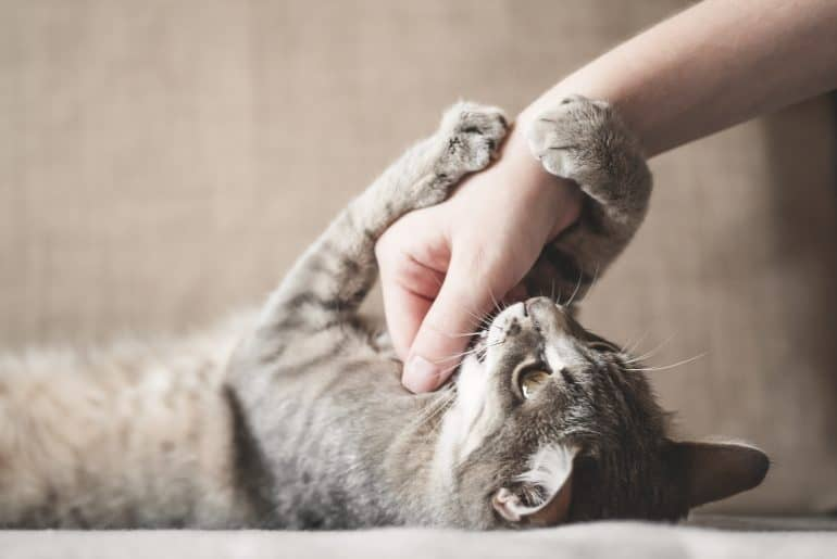 Cute gray cat playing with human hand while lying on sofa
