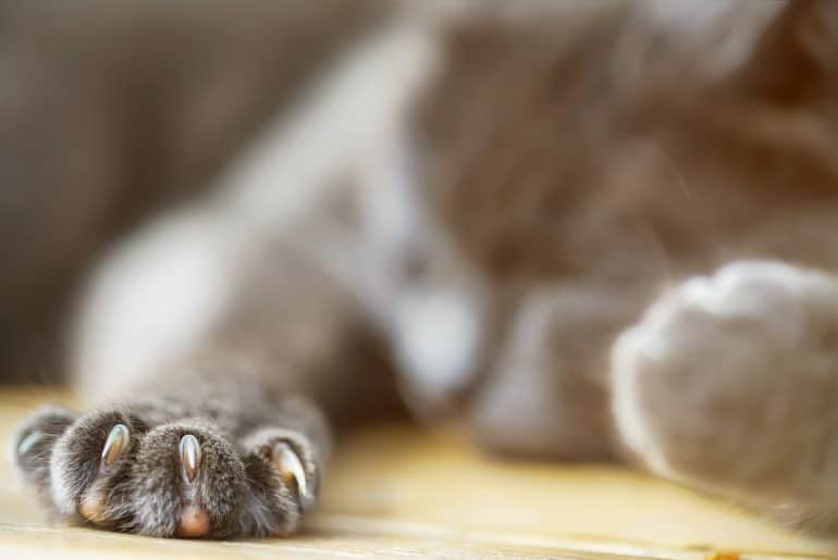 grey paw with sharp claw of pet cat sleeping on wooden floor