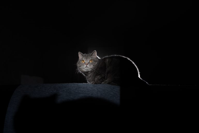 A gray tabby cat sits on a sofa above its shadow in a dark interior. Portrait of a scared British shorthair cat at home. Pets, nightmares, ghosts, fear concept.