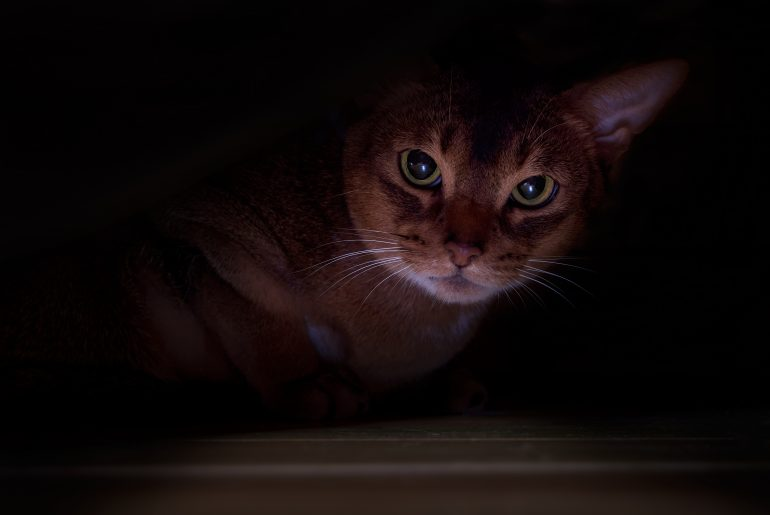 Cat hid under the bed. Portrait angry cat, dark background.