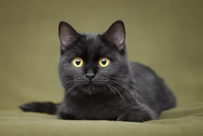 Beautiful black cat with yellow eyes