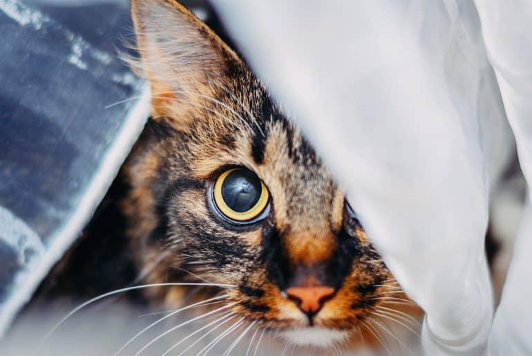 Close-up portrait of cat looking big eyes at camera, hidden behind curtain