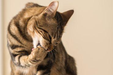 Beautiful feline cat licking himself at home