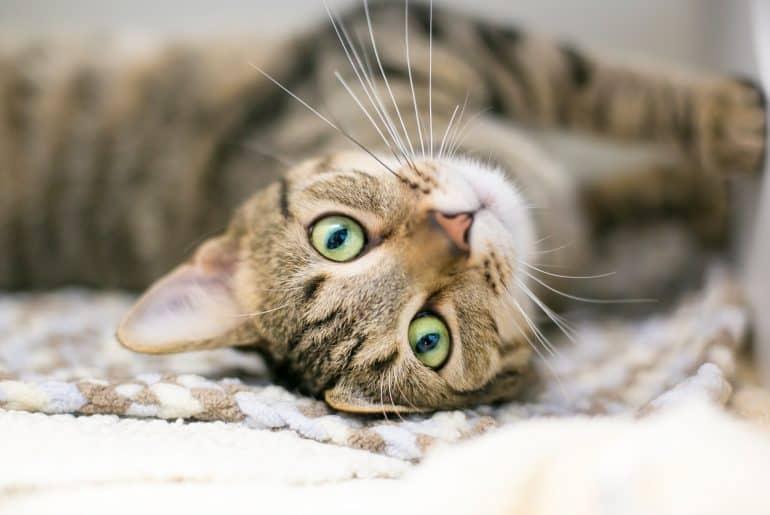 A domestic shorthair tabby cat lying upside down on a blanket