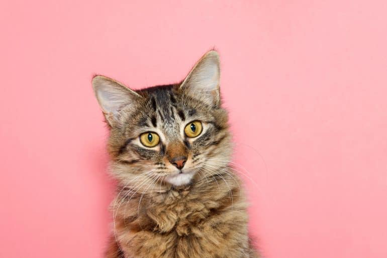 portrait of a curios long haired black and tan tabby cat with bright yellow eyes looking at viewer. Pink background