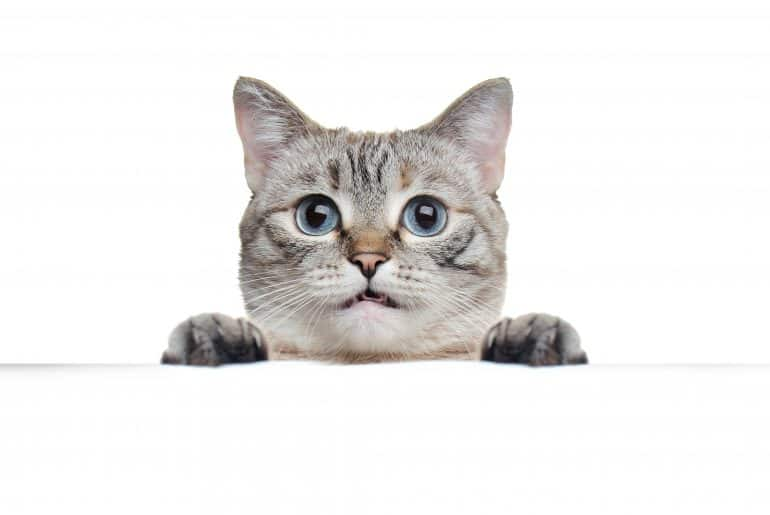Tabby grey cat holding blank board against white background