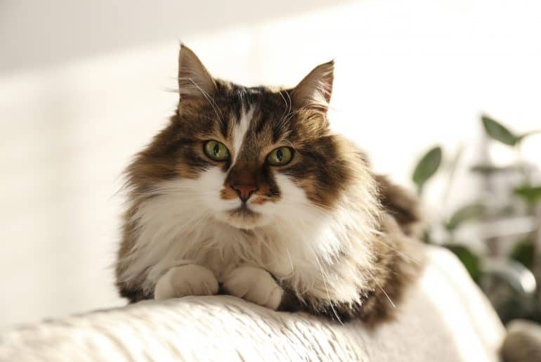 Portrait of cute siberian cat with green eyes lying on the back of white textile sofa at home