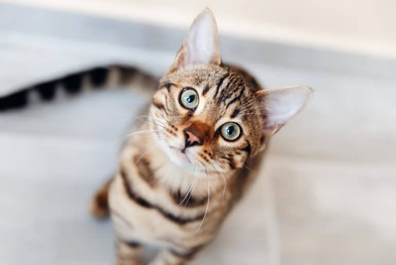 Portrait of bengal cat sitting down and look at camera. top view.