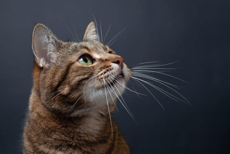 Brown tabby cat portrait on black background